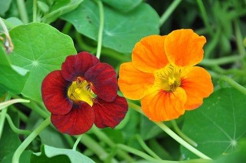 פרח כובע הנזיר - מרחיק חרקים טבעי | צילום: Israplant
