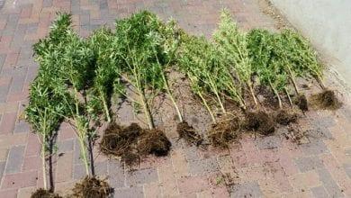 Photo of בן 60 נעצר במושב: גידל 13 צמחים בחצר
