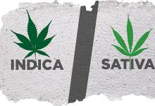 אינדיקה מול סאטיבה (קנאביס) - 6 הבדלים
