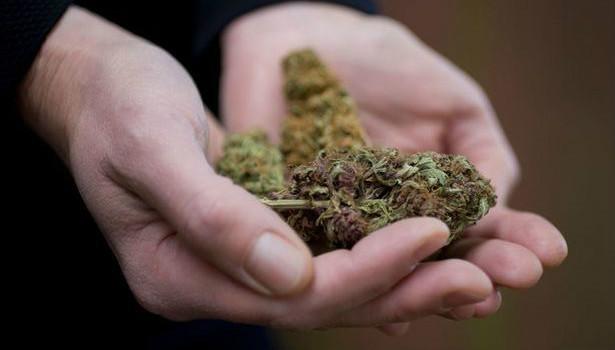 ידיים מחזיקות פרחי קנאביס