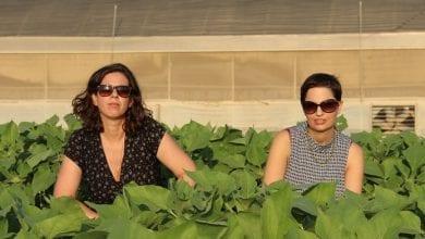 "Photo of החקלאיות שרוצות לגדל קנאביס בערבה: ""נפריח את השממה"""