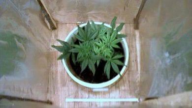 One cannabis plant was found in Kiryat Bialik