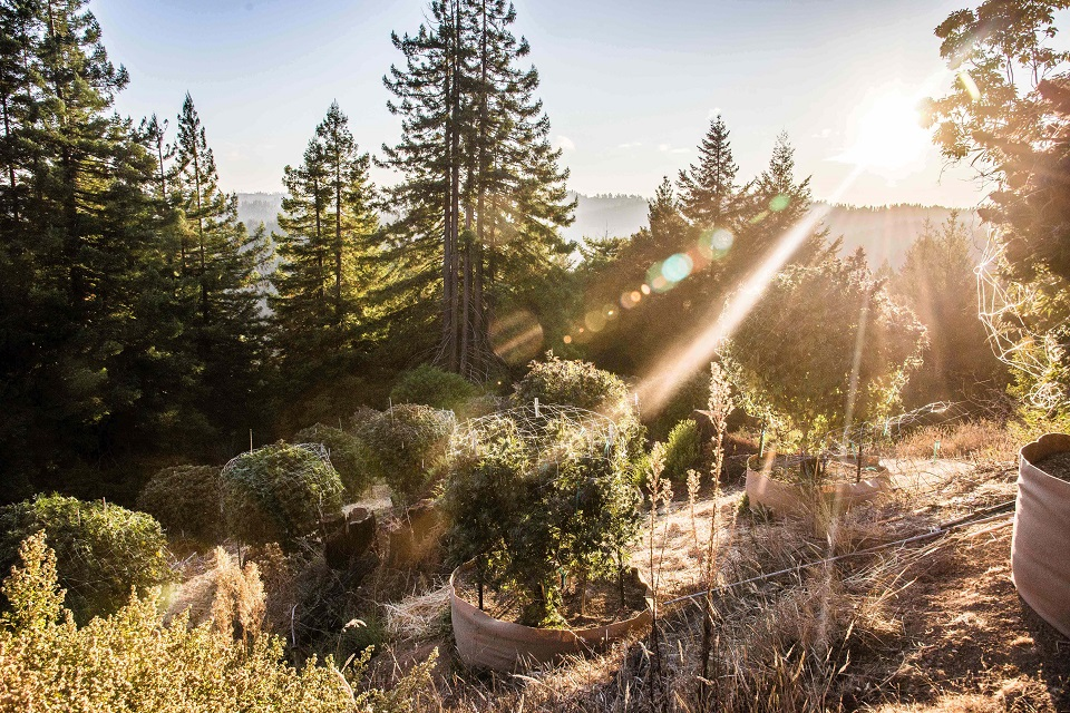 חוות קנאביס בקליפורניה