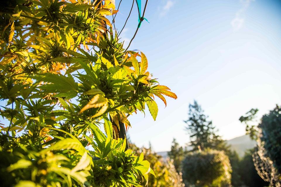 פרחי קנאביס בקליפורניה