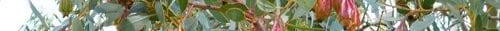 הטרפן eucalyptol
