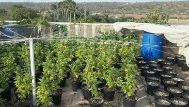 Photo of 500 שתילי קנאביס נתפסו על גג ביתו של חוקר צמחים ידוע