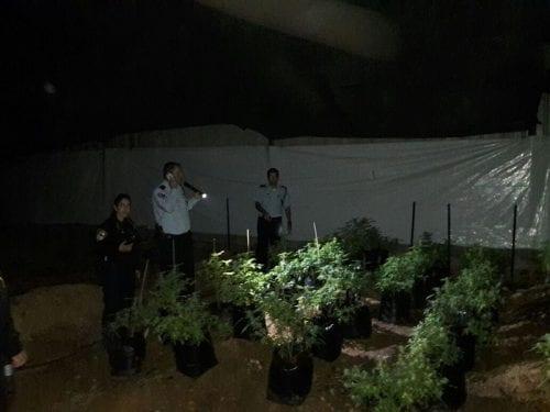 תפיסת 600 שתילי מריחואנה רמת הגולן מושב אליעד