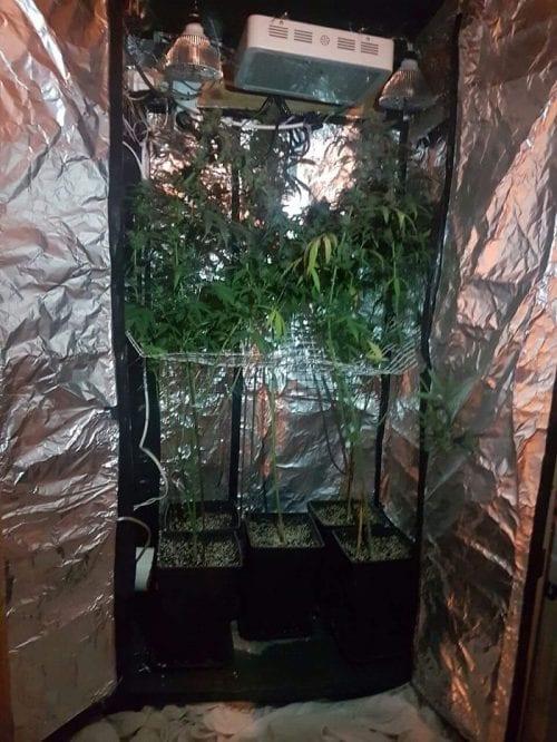 שתילי קנאביס באוהל