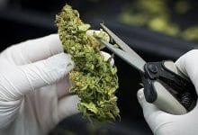 Gids voor Snoeien Cannabis