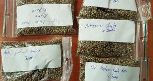 10000 זרעי קנאביס
