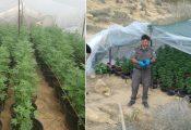 300 שתילי קנאביס נתפסו בחממה בנגב