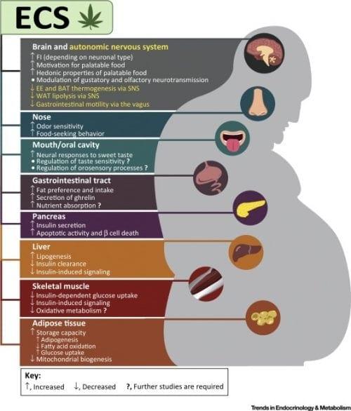 תפקידיה המגוונים של המערכת האנדוקנאבינואידית – מעוררות תיאבון ובקרת אינסולין, עד שיפור הולכה עצבית ופירוק שומנים