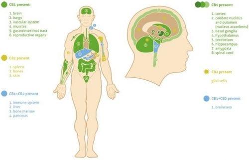 פרישת קולטני המערכת האנדוקנאבינואידית בגוף האדם, בעיקר במוח ובמערכת העצבים