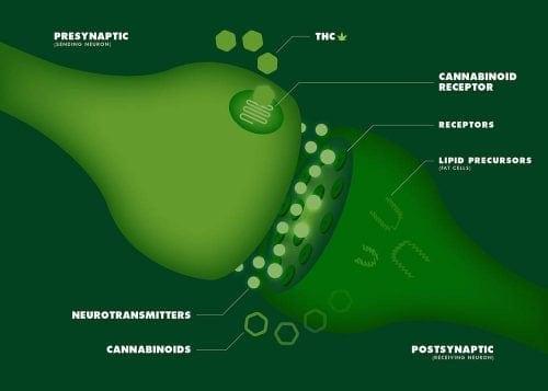 חיבור קולטנים עצביים – תגובה פיזיולוגית המתרחשת בעקבות חשיפה לקנאבינואידים