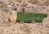בלב המדבר: 1,000 שתילי קנאביס נתפסו בחממות