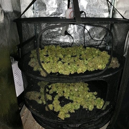 Drying buds amitos