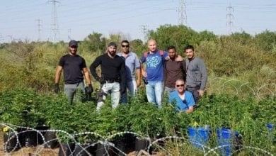 Photo of שוטרים תפסו 250 צמחי קנאביס סמוך לאשדוד