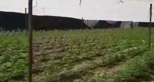 שדה קנאביס 2,700 שתילים