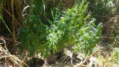"Photo of גידל קנאביס בחצר: ""הזרעים נפלו ונבטו מעצמם"""