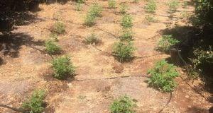 5,000 עציצי קנאביס נתפסו באבן מנחם