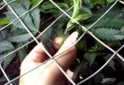 סקרוג: איך להגדיל את כמות הפרחים בצמח הקנאביס