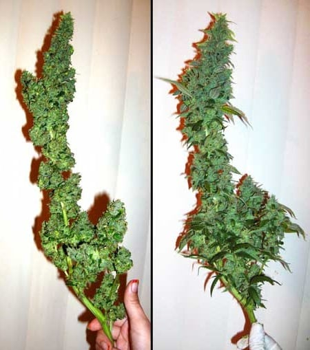 Trimming Cannabis Trimmation - Before and After