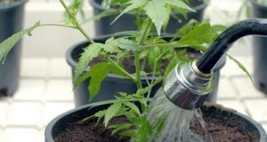 watering-cannabis