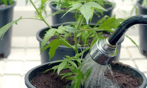 watering-cannabis