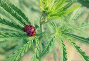הדברה ביולוגית: איך לגדל קנאביס ללא חומרים מסוכנים