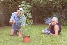 שני אנשים מבוגרים מעשנים קנאביס על מדשאה עם עציץ קנאביס