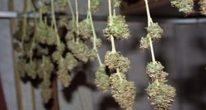 buds drying
