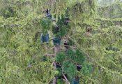 שיטה חדשה בגרמניה: גידול קנאביס על צמרות עצים