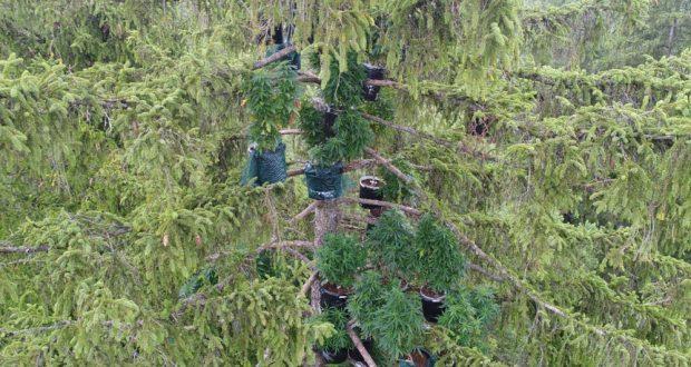 קנאביס על עצים