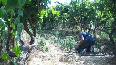 Photo of מבצע 'שועל בכרם': 2,400 שתילי קנאביס נתפסו בכרם בדרום הארץ