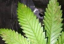 Photo of איך לזהות במהירות מה הבעיה של הצמח – תרשים זרימה חדש