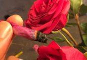 טרנד חדש: ג'וינט מגולגל בעלי ורד