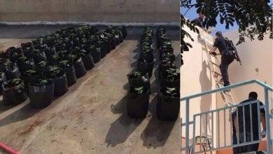 שתילי קנאביס על גג בית ספר