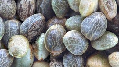 Photo of זרעי קנאביס – איך נדע שהם איכותיים? ½6 דרכים לזיהוי