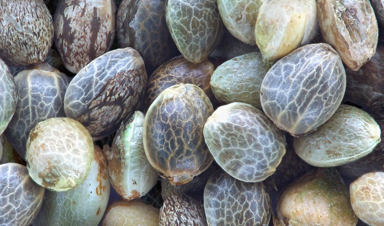 ½6 דרכים לזיהוי זרע קנאביס איכותי