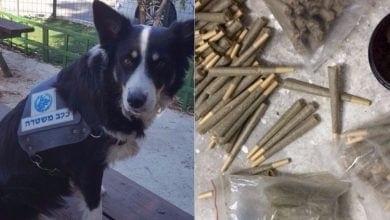 כלבת משטרה תפסה ג'וינטים