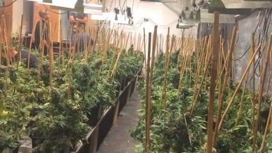 "Photo of רגע לפני הקציר: עשרות צמחי קנאביס נתפסו במקלט בת""א"