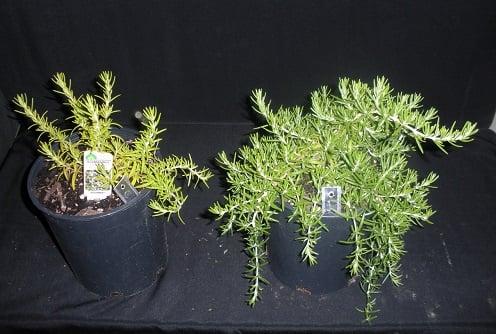 מימין: צמח רוזמרין שקיבל מיקוריזה.