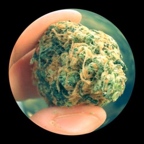 פרח קנאביס דחוס במשקל גרם