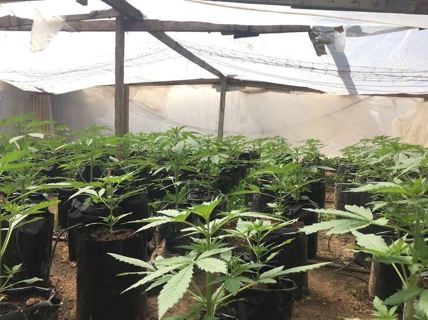 Photo of גידל 236 צמחי קנאביס – נענש בעבודות שירות