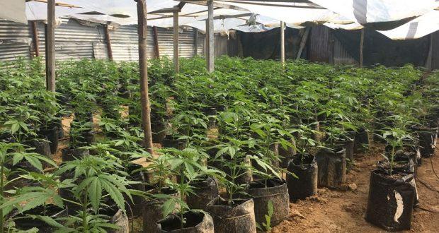 868 צמחי קנאביס בחממה