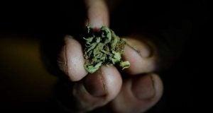 פרח קנאביס דחוס בין אצבעות יד