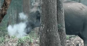 פיל מעשן