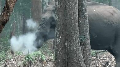 Photo of פיל מעשן צולם בהודו – המדענים מנסים להבין מדוע