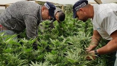 חממת קנאביס נבטים משטרה