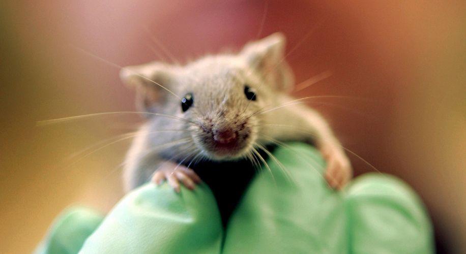 העכברים אכלו את המריחואנה?